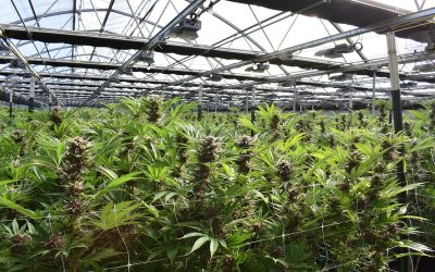 3 Ways To Ensure Successful Cannabis Cultivation